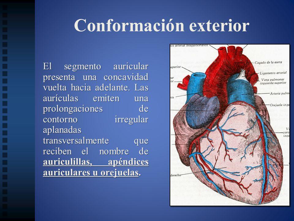 Relaciones anatómicas Cara inferior:.- Diafragma (sobre el cual se apoya), nervio frénico.