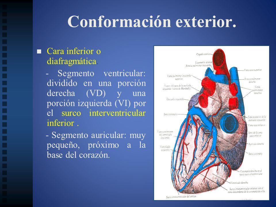 Conformación exterior. Cara inferior o diafragmática. - Segmento ventricular: dividido en una porción derecha (VD) y una porción izquierda (VI) por el