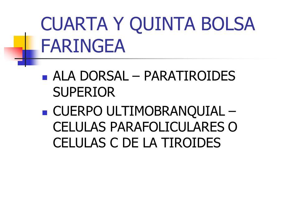 ENDIDURAS FARINGEAS PORCION DORSAL DE LA PRIMERA – CAE SEGUNDA, TERCERA Y CUARTA – SENO CERVICAL