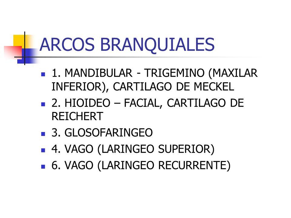 PRIMER ARCO PORCION DORSAL (PROCESO MAXILAR) PREMAXILAR, MAXILAR, HUESO CIGOMATICO, TEMPORAL PORCION VENTRAL (PROCESO MANDIBULAR O CARTILAGO DE MECKEL) YUNQUE, MARTILLO, MANDIBULA MUSCULOS DE LA MASTICACION (TEMPORAL, MASETERO, PTERIGOIDEOS), VIENTRE ANTERIOR DEL DIGASTRICO, MILOHIOIDEO, MUSCULO DEL MARTILLO, PERIESTAFILINO EXTERNO.