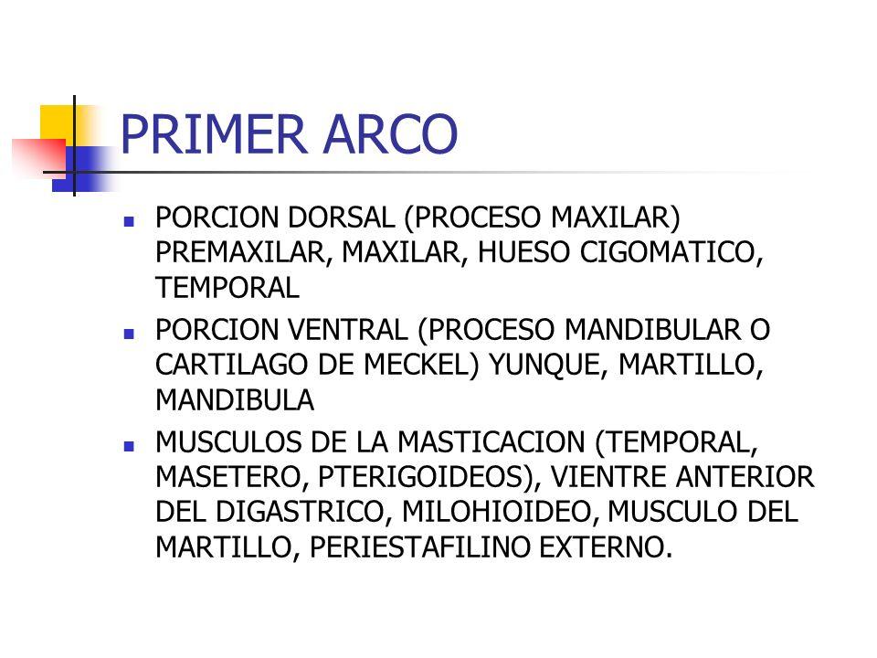 PRIMER ARCO PORCION DORSAL (PROCESO MAXILAR) PREMAXILAR, MAXILAR, HUESO CIGOMATICO, TEMPORAL PORCION VENTRAL (PROCESO MANDIBULAR O CARTILAGO DE MECKEL