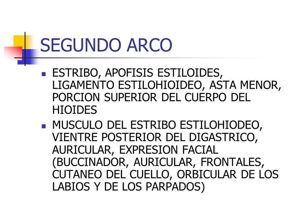 SEGUNDO ARCO ESTRIBO, APOFISIS ESTILOIDES, LIGAMENTO ESTILOHIOIDEO, ASTA MENOR, PORCION SUPERIOR DEL CUERPO DEL HIOIDES MUSCULO DEL ESTRIBO ESTILOHIOD
