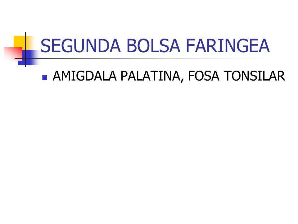 TERCERA BOLSA FARINGEA ALA DORSAL - PARATIROIDES INFERIOR ALA VENTRAL - TIMO