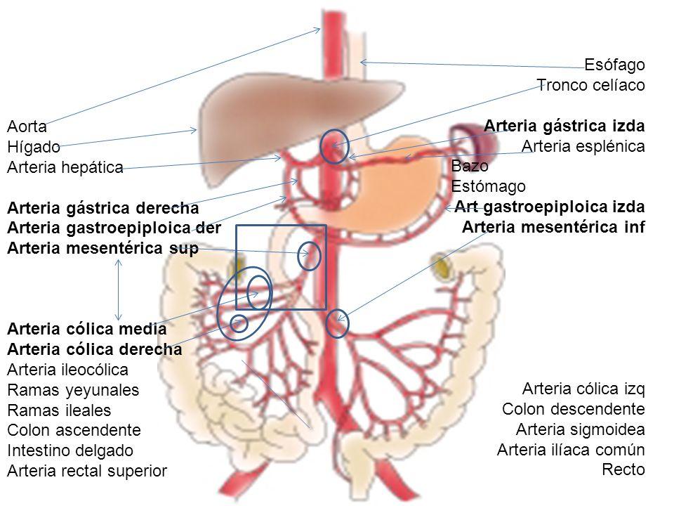 Bonito Anatomía Arteria Hepática Motivo - Imágenes de Anatomía ...