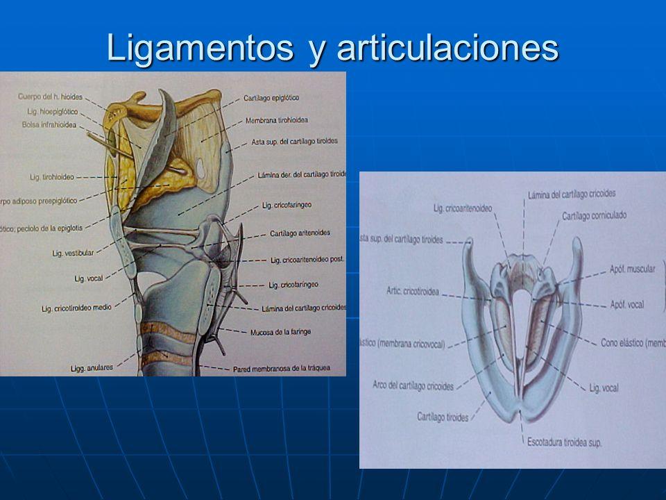 Ligamentos y articulaciones