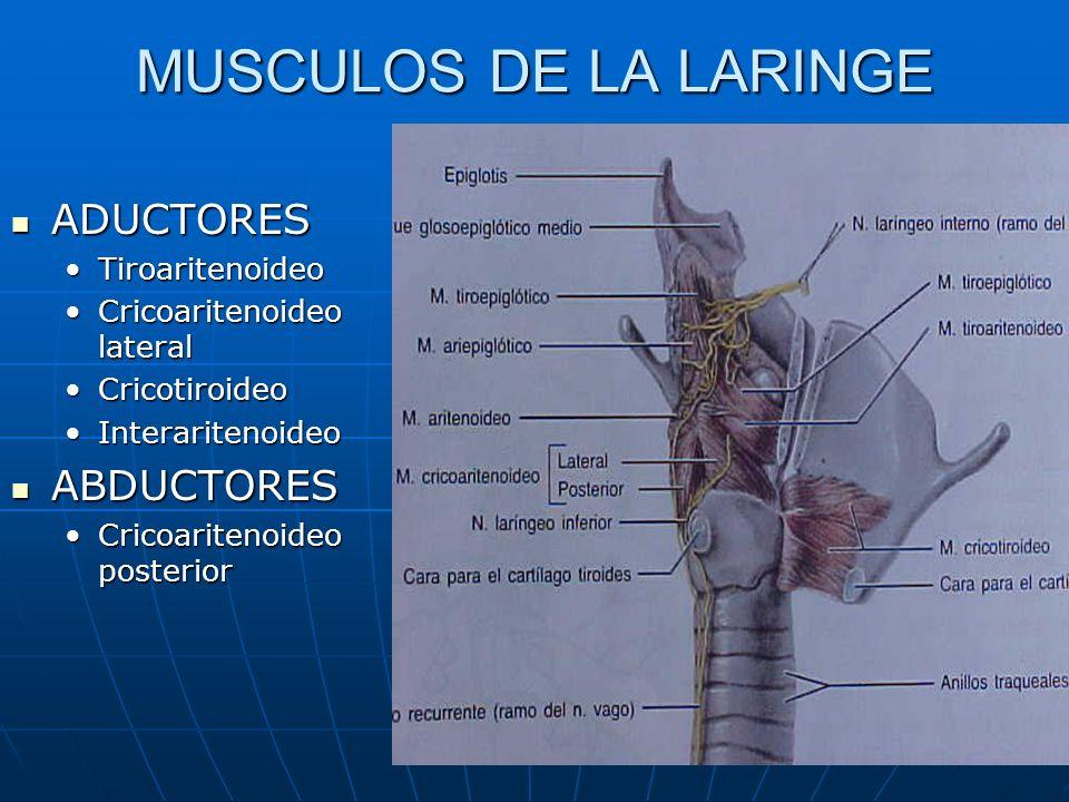 MUSCULOS DE LA LARINGE ADUCTORES ADUCTORES TiroaritenoideoTiroaritenoideo Cricoaritenoideo lateralCricoaritenoideo lateral CricotiroideoCricotiroideo