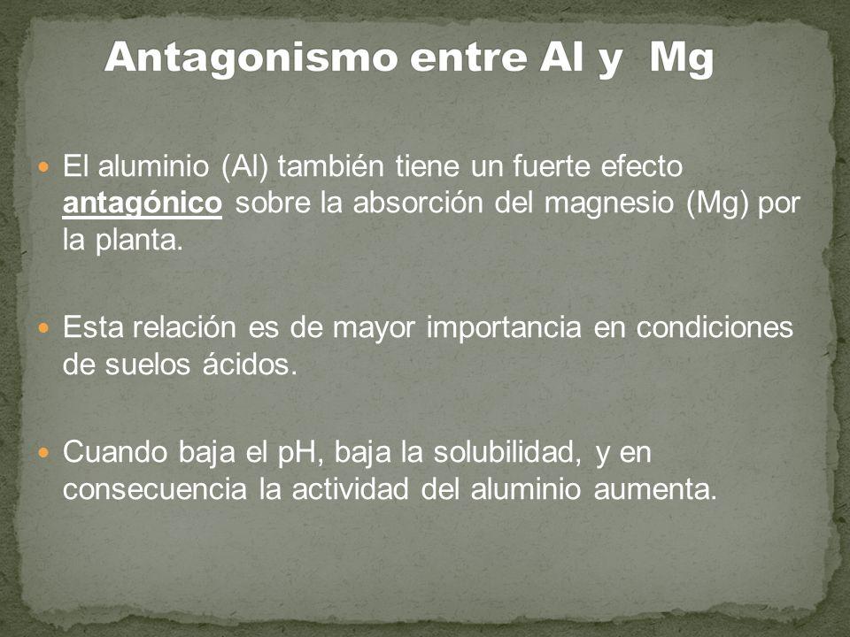 El aluminio (Al) también tiene un fuerte efecto antagónico sobre la absorción del magnesio (Mg) por la planta. Esta relación es de mayor importancia e