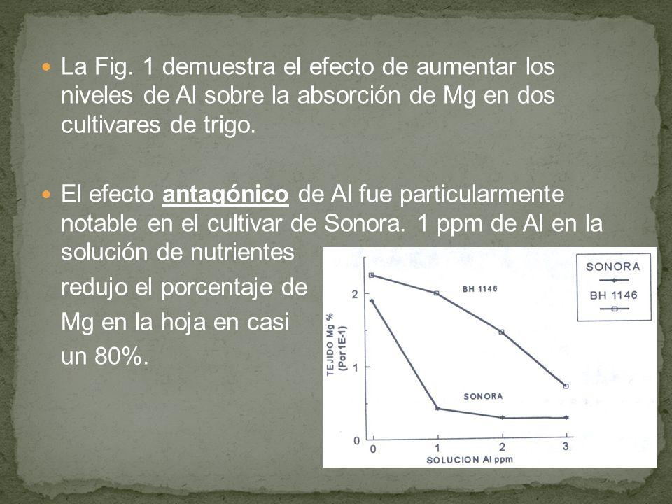 La Fig. 1 demuestra el efecto de aumentar los niveles de Al sobre la absorción de Mg en dos cultivares de trigo. El efecto antagónico de Al fue partic