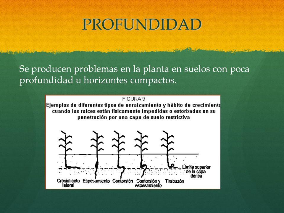 PROFUNDIDAD Se producen problemas en la planta en suelos con poca profundidad u horizontes compactos.