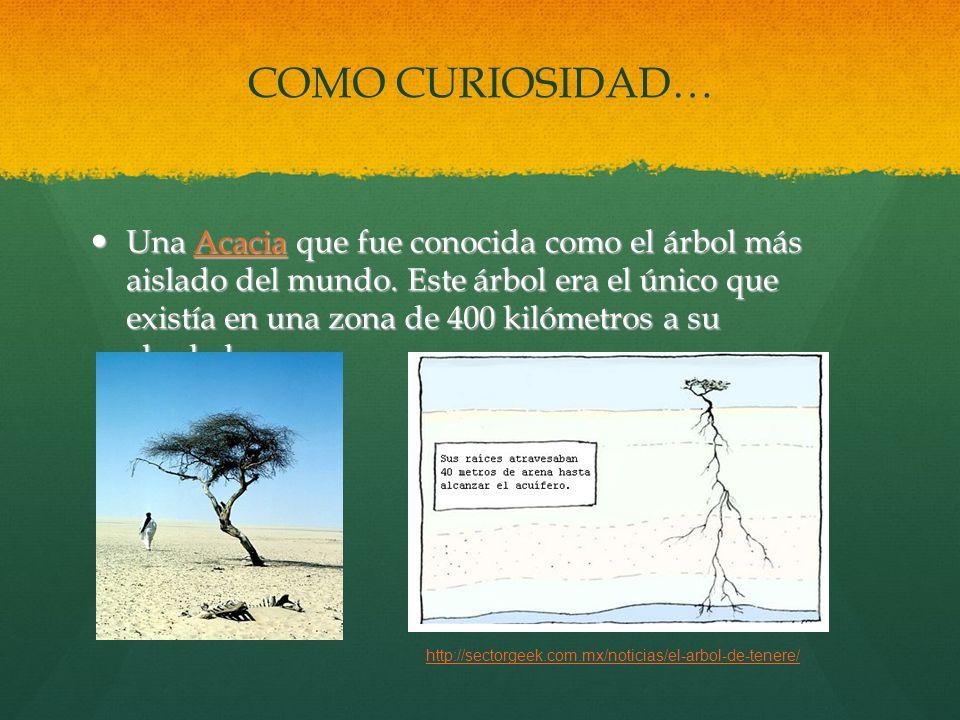 COMO CURIOSIDAD… Una Acacia que fue conocida como el árbol más aislado del mundo. Este árbol era el único que existía en una zona de 400 kilómetros a