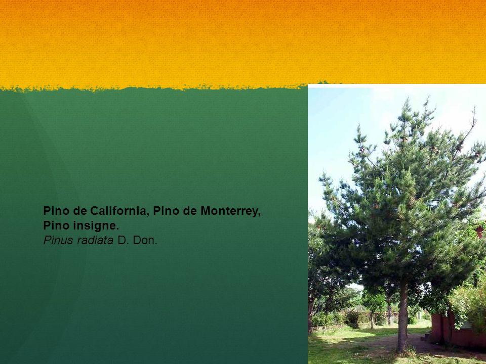 Pino de California, Pino de Monterrey, Pino insigne. Pinus radiata D. Don.