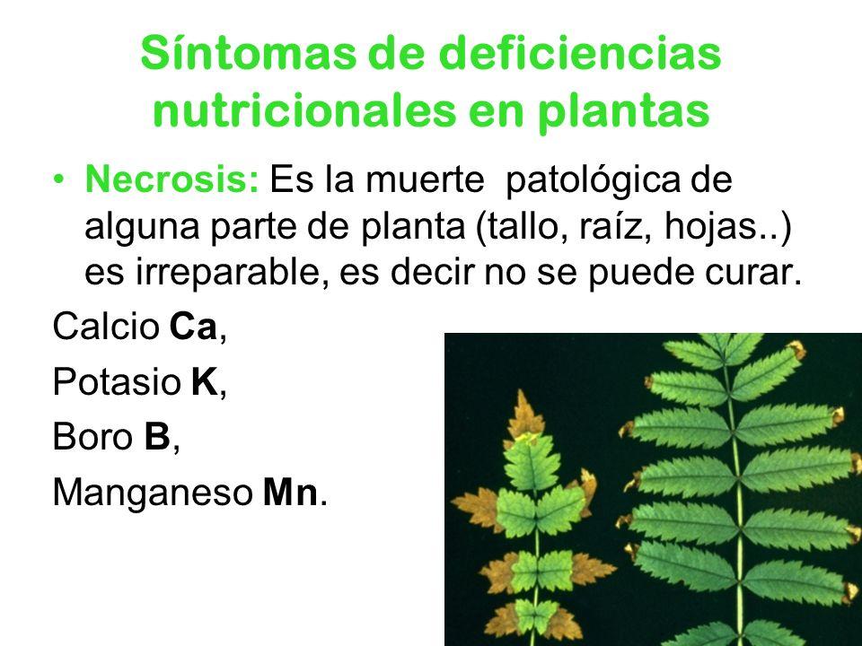 Síntomas de deficiencias nutricionales en plantas Necrosis: Es la muerte patológica de alguna parte de planta (tallo, raíz, hojas..) es irreparable, e