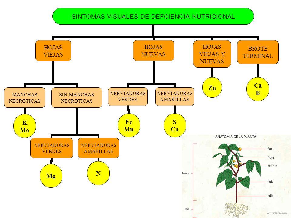 SINTOMAS VISUALES DE DEFCIENCIA NUTRICIONAL HOJAS VIEJAS MANCHAS NECROTICAS K Mo SIN MANCHAS NECROTICAS NERVIADURAS VERDES Mg NERVIADURAS AMARILLAS N