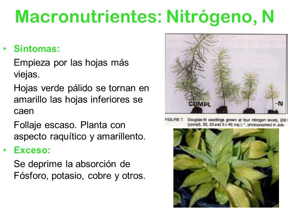 Síntomas: Empieza por las hojas más viejas. Hojas verde pálido se tornan en amarillo las hojas inferiores se caen Follaje escaso. Planta con aspecto r