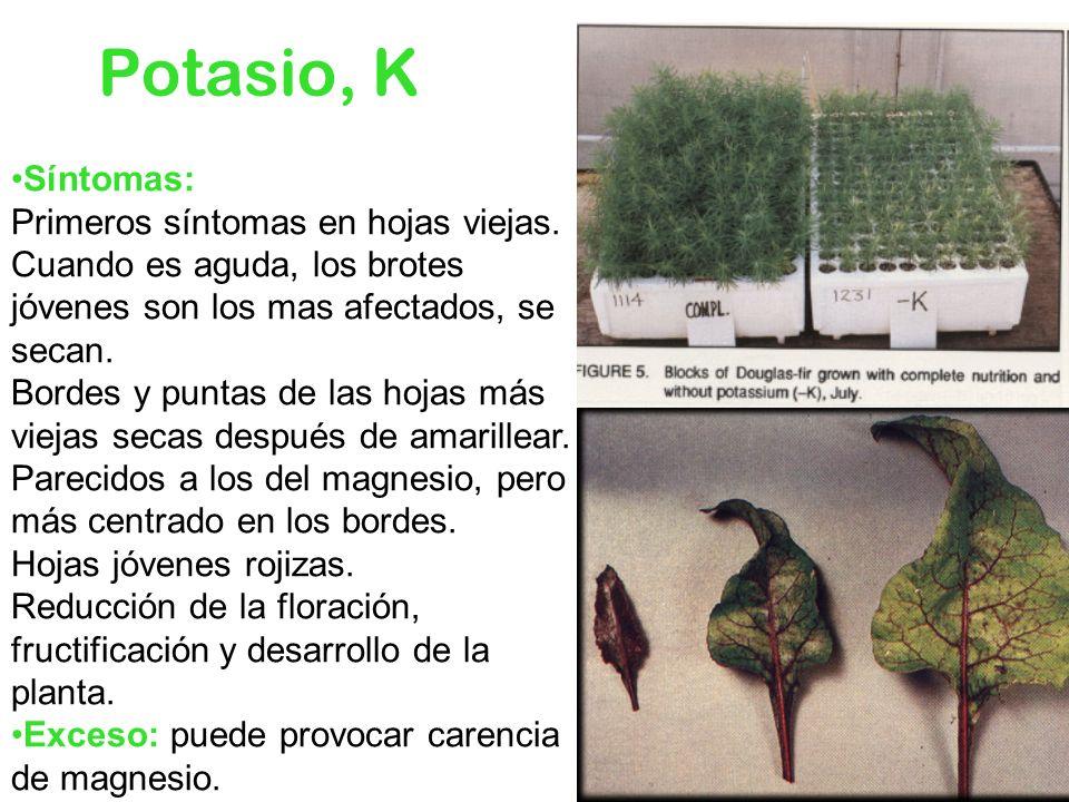 Potasio, K Síntomas: Primeros síntomas en hojas viejas. Cuando es aguda, los brotes jóvenes son los mas afectados, se secan. Bordes y puntas de las ho