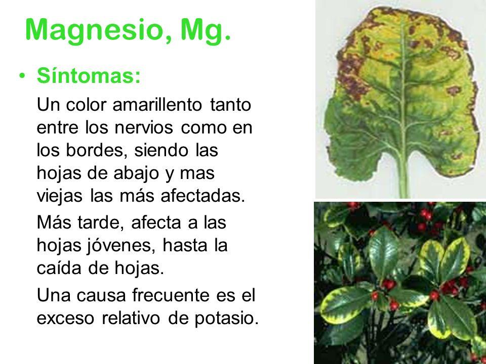 Magnesio, Mg. Síntomas: Un color amarillento tanto entre los nervios como en los bordes, siendo las hojas de abajo y mas viejas las más afectadas. Más