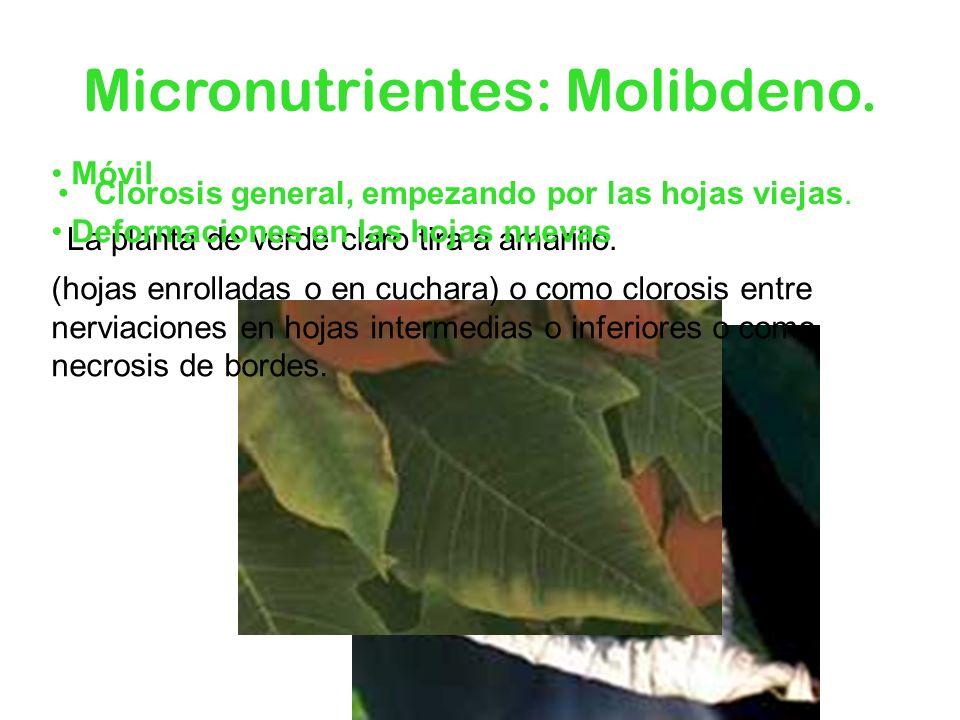 Micronutrientes: Molibdeno. Clorosis general, empezando por las hojas viejas. La planta de verde claro tira a amarillo. Móvil Deformaciones en las hoj