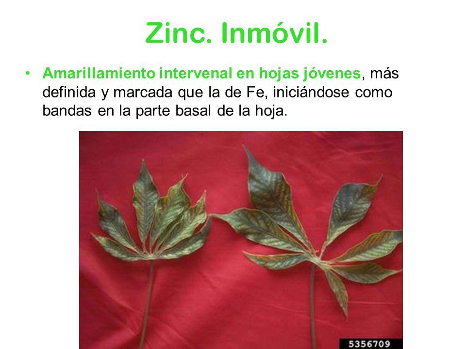 Zinc. Inmóvil. Amarillamiento intervenal en hojas jóvenes, más definida y marcada que la de Fe, iniciándose como bandas en la parte basal de la hoja.
