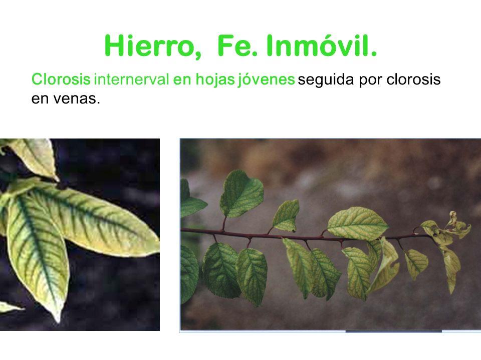 Hierro, Fe. Inmóvil. Clorosis internerval en hojas jóvenes seguida por clorosis en venas.