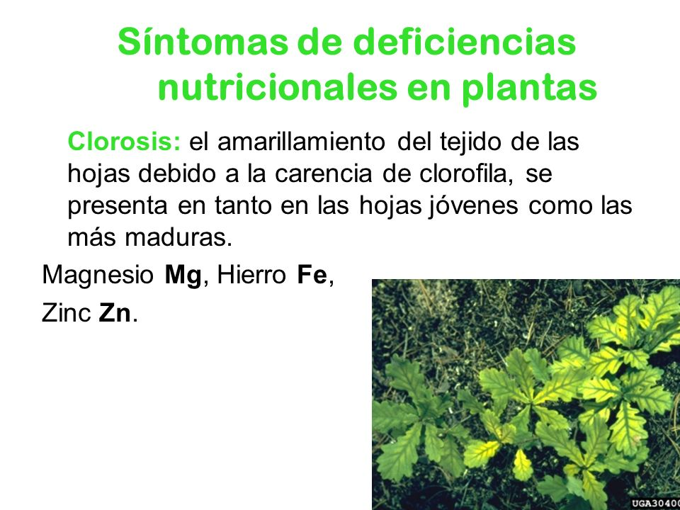 Síntomas de deficiencias nutricionales en plantas Clorosis: el amarillamiento del tejido de las hojas debido a la carencia de clorofila, se presenta e