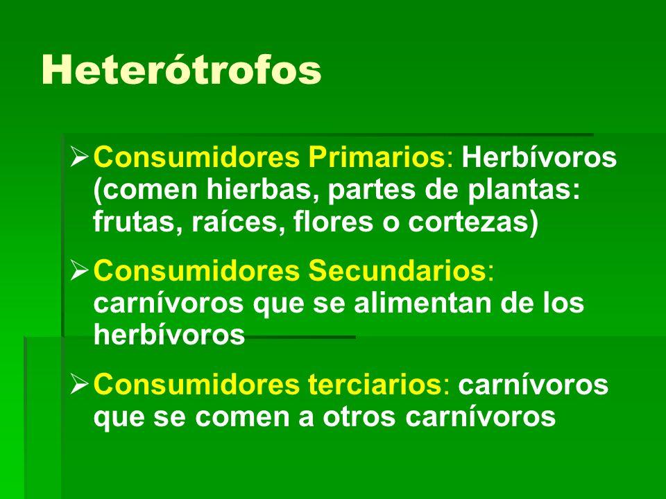 Heterótrofos Consumidores Primarios: Herbívoros (comen hierbas, partes de plantas: frutas, raíces, flores o cortezas) Consumidores Secundarios: carnív