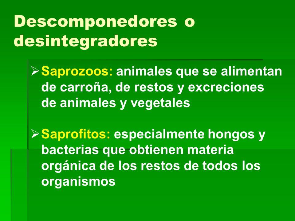 Descomponedores o desintegradores Saprozoos: animales que se alimentan de carroña, de restos y excreciones de animales y vegetales Saprofitos: especia