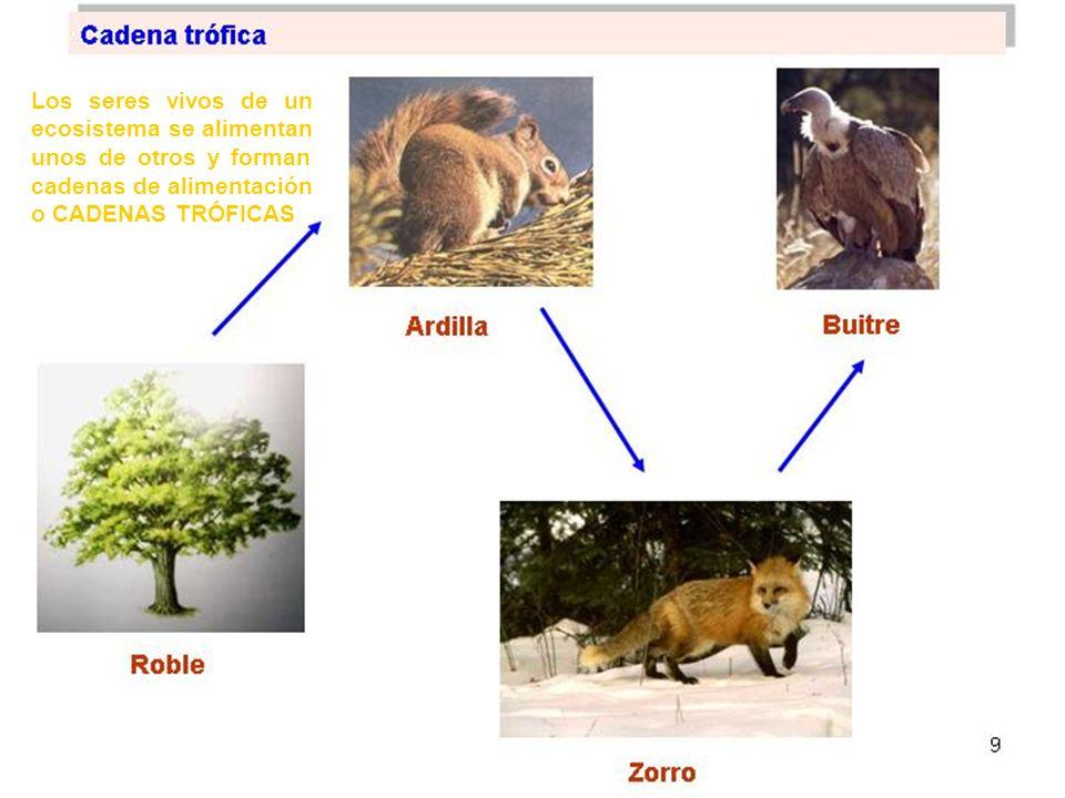 Los seres vivos de un ecosistema se alimentan unos de otros y forman cadenas de alimentación o CADENAS TRÓFICAS