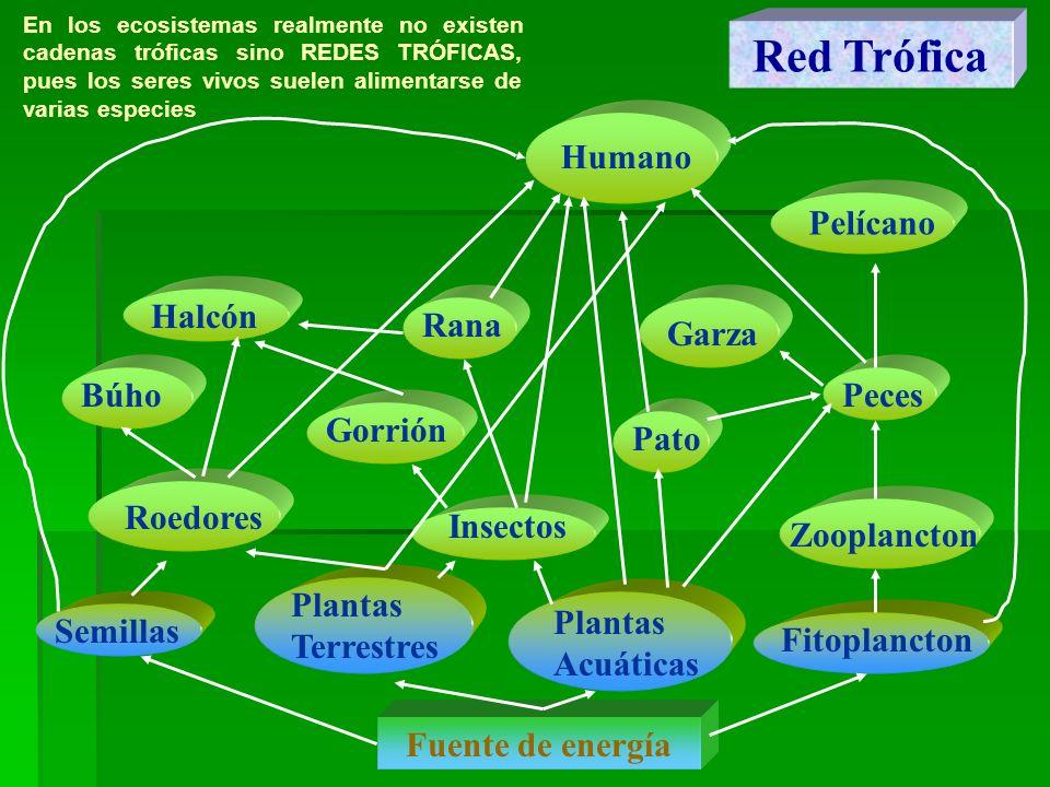 Red Trófica Semillas Plantas Terrestres Plantas Acuáticas Roedores Insectos PecesBúho Halcón Pato Garza Fitoplancton Gorrión Pelícano Humano Zooplanct