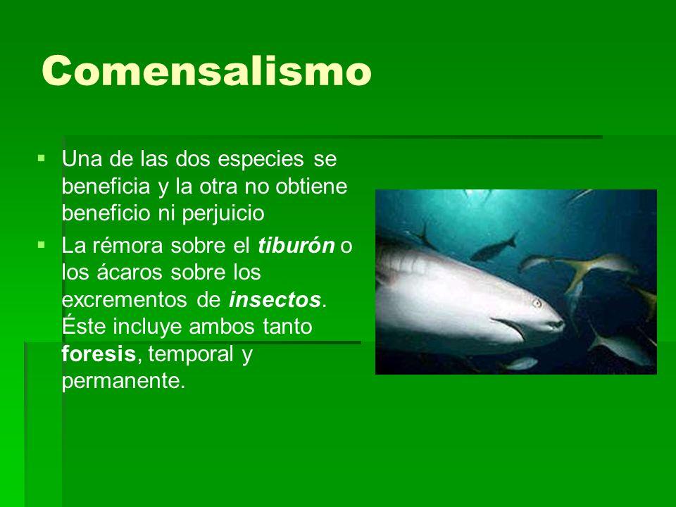 Comensalismo Una de las dos especies se beneficia y la otra no obtiene beneficio ni perjuicio La rémora sobre el tiburón o los ácaros sobre los excrem