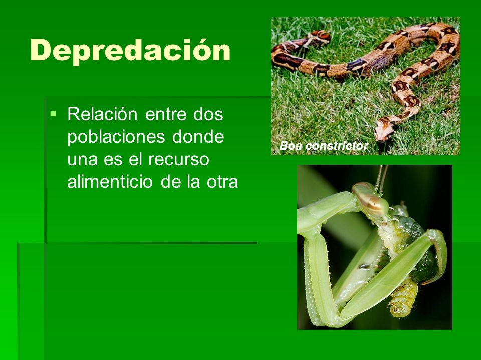 Depredación Relación entre dos poblaciones donde una es el recurso alimenticio de la otra Boa constrictor
