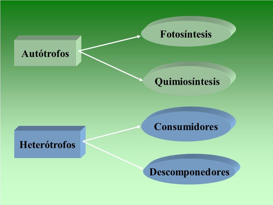 Autótrofos Heterótrofos Fotosíntesis Quimiosíntesis Consumidores Descomponedores