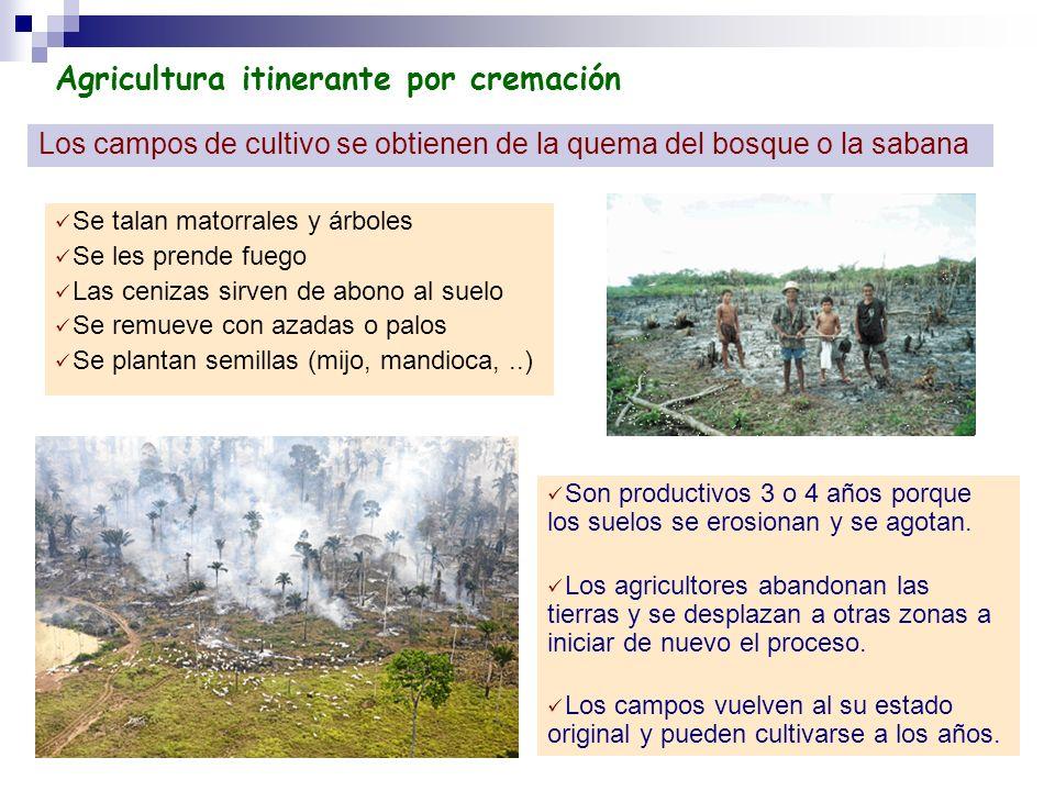 Agricultura itinerante por cremación Los campos de cultivo se obtienen de la quema del bosque o la sabana Se talan matorrales y árboles Se les prende