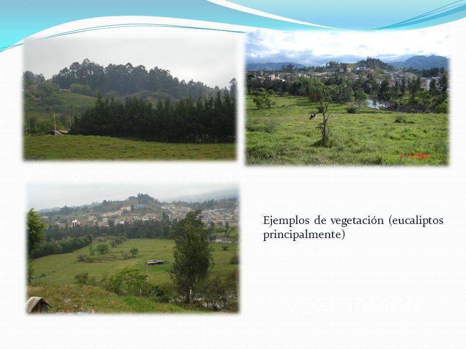Ejemplos de vegetación (eucaliptos principalmente) VEGETACIÓN