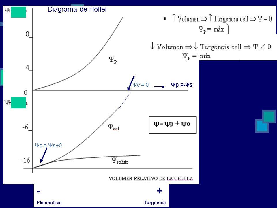 - + Plasmólisis Turgencia Diagrama de Hofler Ψc = Ψs+0 Ψc = 0Ψp =-Ψs