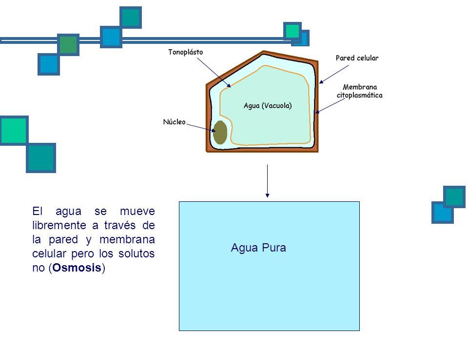 Agua Pura El agua se mueve libremente a través de la pared y membrana celular pero los solutos no (Osmosis)