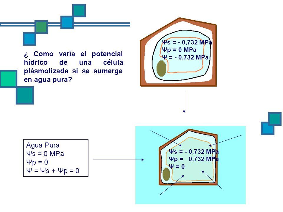 ¿ Como varía el potencial hídrico de una célula plásmolizada si se sumerge en agua pura? Ψs = - 0,732 MPa Ψp = 0 MPa Ψ = - 0,732 MPa Agua Pura Ψs = 0