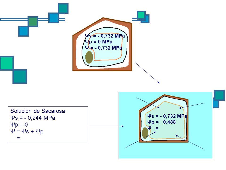 Solución de Sacarosa Ψs = - 0,244 MPa Ψp = 0 Ψ = Ψs + Ψp = Ψs = - 0,732 MPa Ψp = 0,488 Ψ = Ψs = - 0,732 MPa Ψp = 0 MPa Ψ = - 0,732 MPa