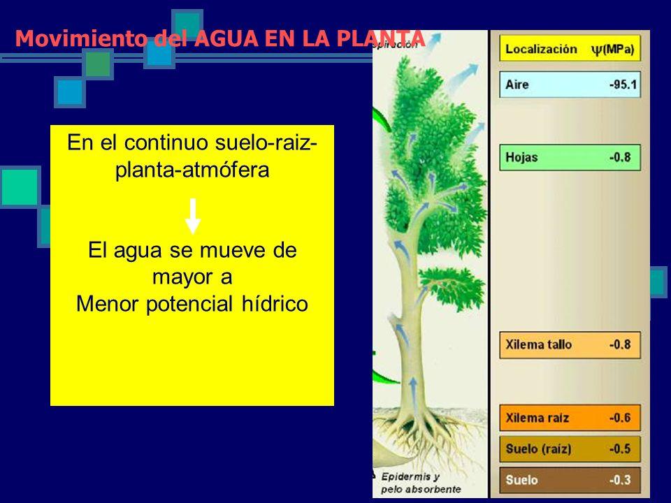 En el continuo suelo-raiz- planta-atmófera El agua se mueve de mayor a Menor potencial hídrico Movimiento del AGUA EN LA PLANTA