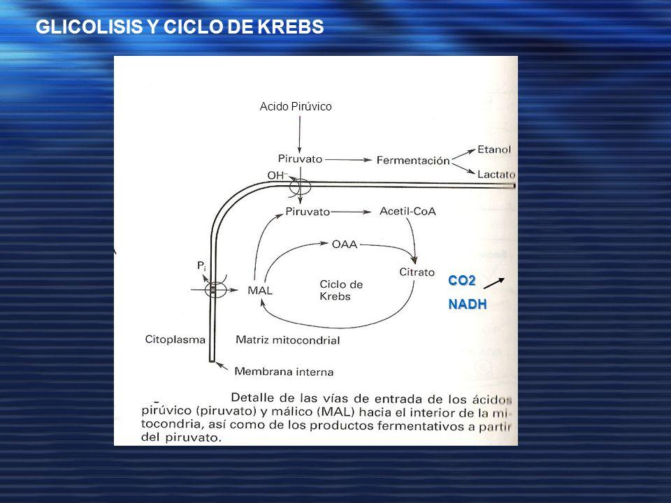 GLICOLISIS Y CICLO DE KREBS Acido Pirúvico