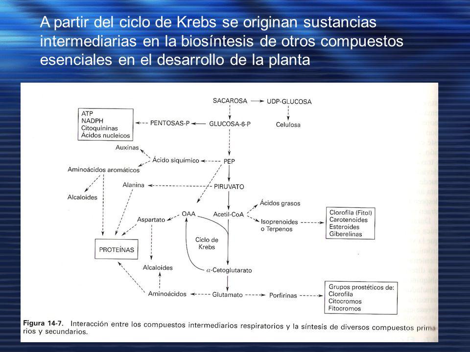 A partir del ciclo de Krebs se originan sustancias intermediarias en la biosíntesis de otros compuestos esenciales en el desarrollo de la planta