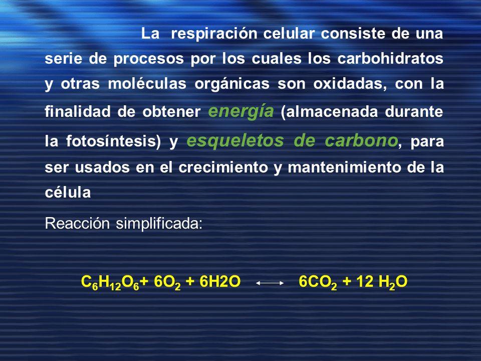 La respiración celular consiste de una serie de procesos por los cuales los carbohidratos y otras moléculas orgánicas son oxidadas, con la finalidad d