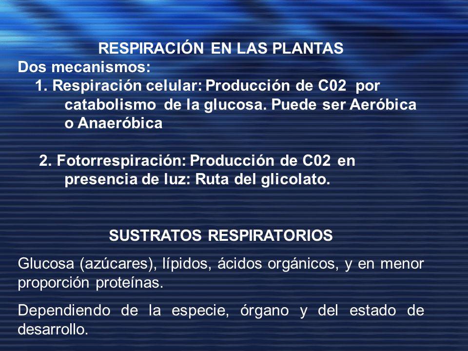 RESPIRACIÓN EN LAS PLANTAS Dos mecanismos: 1. Respiración celular: Producción de C02 por catabolismo de la glucosa. Puede ser Aeróbica o Anaeróbica 2.