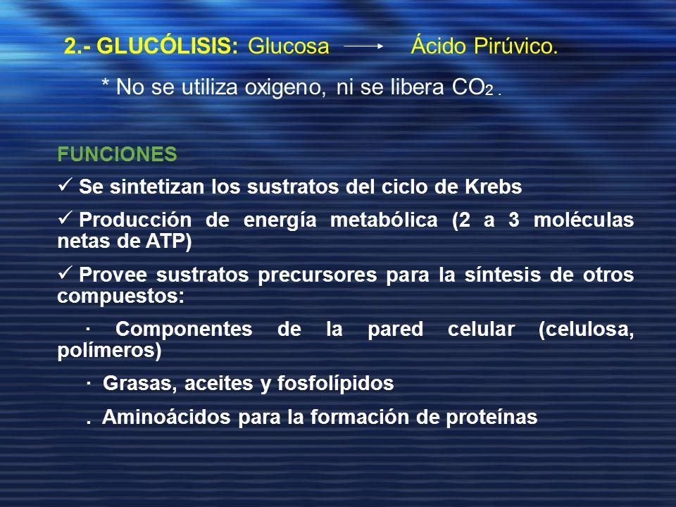 2.- GLUCÓLISIS: Glucosa Ácido Pirúvico. * No se utiliza oxigeno, ni se libera CO 2. FUNCIONES Se sintetizan los sustratos del ciclo de Krebs Producció