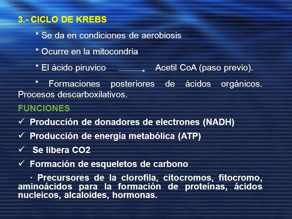 3.- CICLO DE KREBS * Se da en condiciones de aerobiosis * Ocurre en la mitocondria * El ácido piruvico Acetil CoA (paso previo). * Formaciones posteri