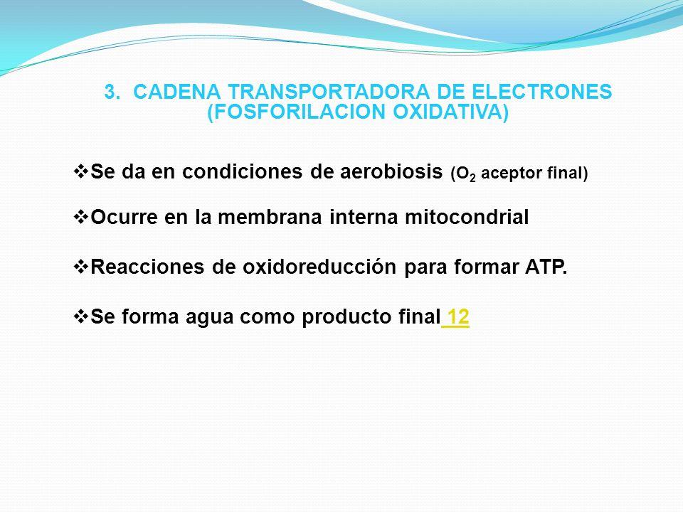 3. CADENA TRANSPORTADORA DE ELECTRONES (FOSFORILACION OXIDATIVA) Se da en condiciones de aerobiosis (O 2 aceptor final) Ocurre en la membrana interna