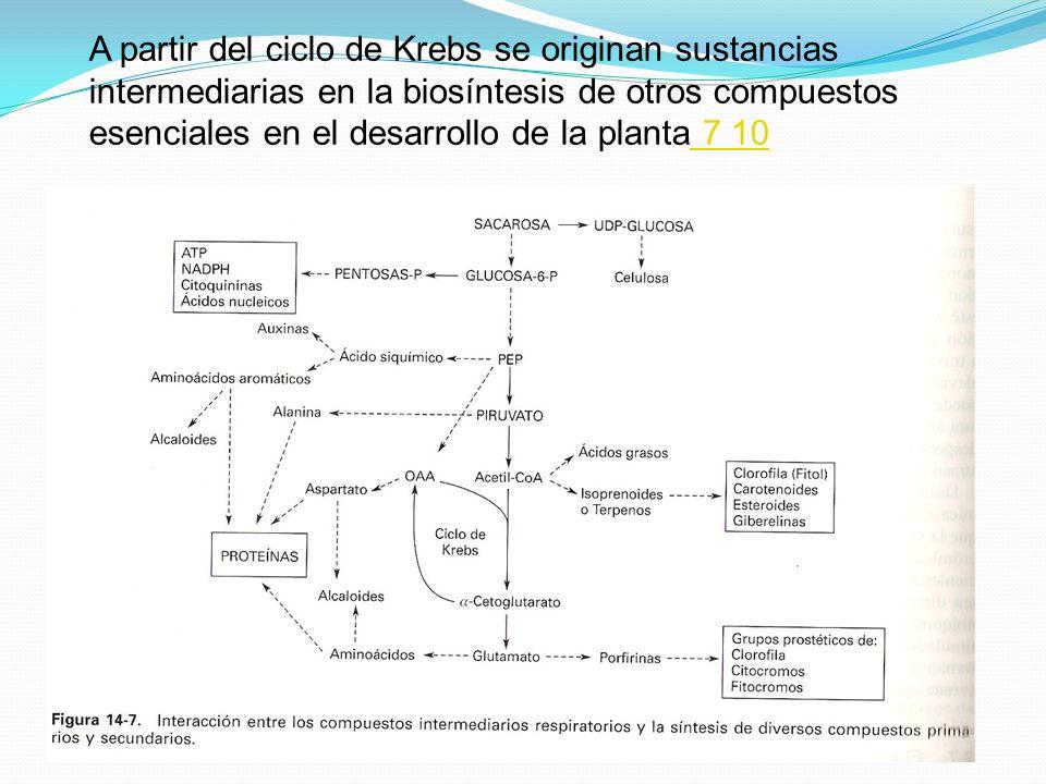 A partir del ciclo de Krebs se originan sustancias intermediarias en la biosíntesis de otros compuestos esenciales en el desarrollo de la planta 7 10