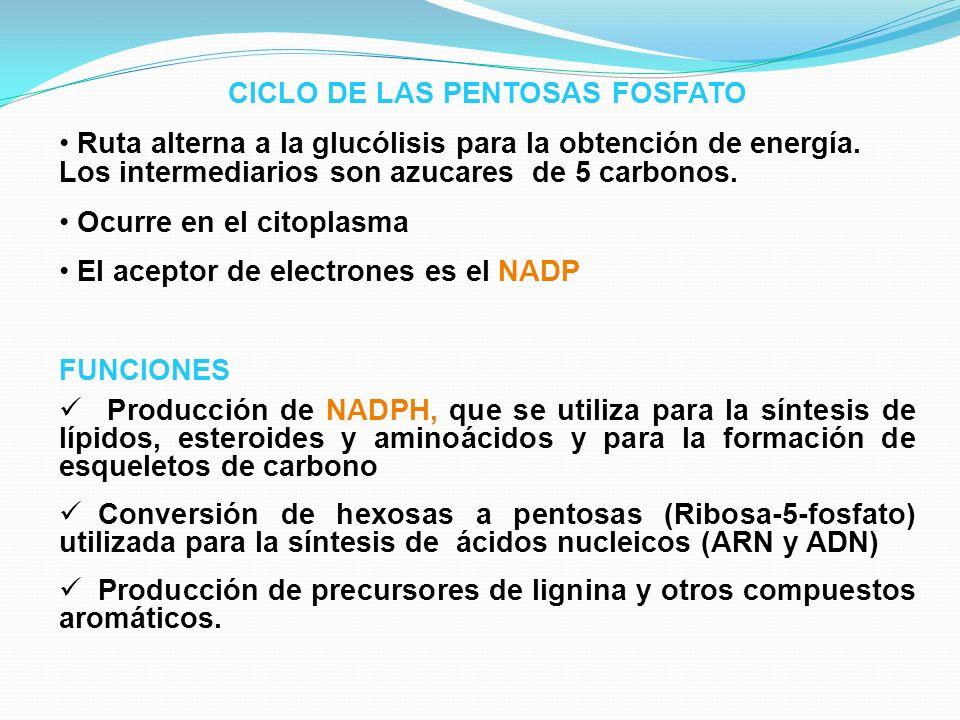 CICLO DE LAS PENTOSAS FOSFATO Ruta alterna a la glucólisis para la obtención de energía. Los intermediarios son azucares de 5 carbonos. Ocurre en el c