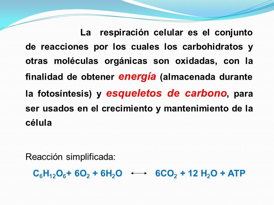 La respiración celular es el conjunto de reacciones por los cuales los carbohidratos y otras moléculas orgánicas son oxidadas, con la finalidad de obt