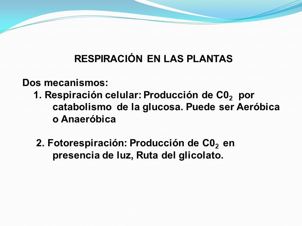 RESPIRACIÓN EN LAS PLANTAS Dos mecanismos: 1. Respiración celular: Producción de C0 2 por catabolismo de la glucosa. Puede ser Aeróbica o Anaeróbica 2