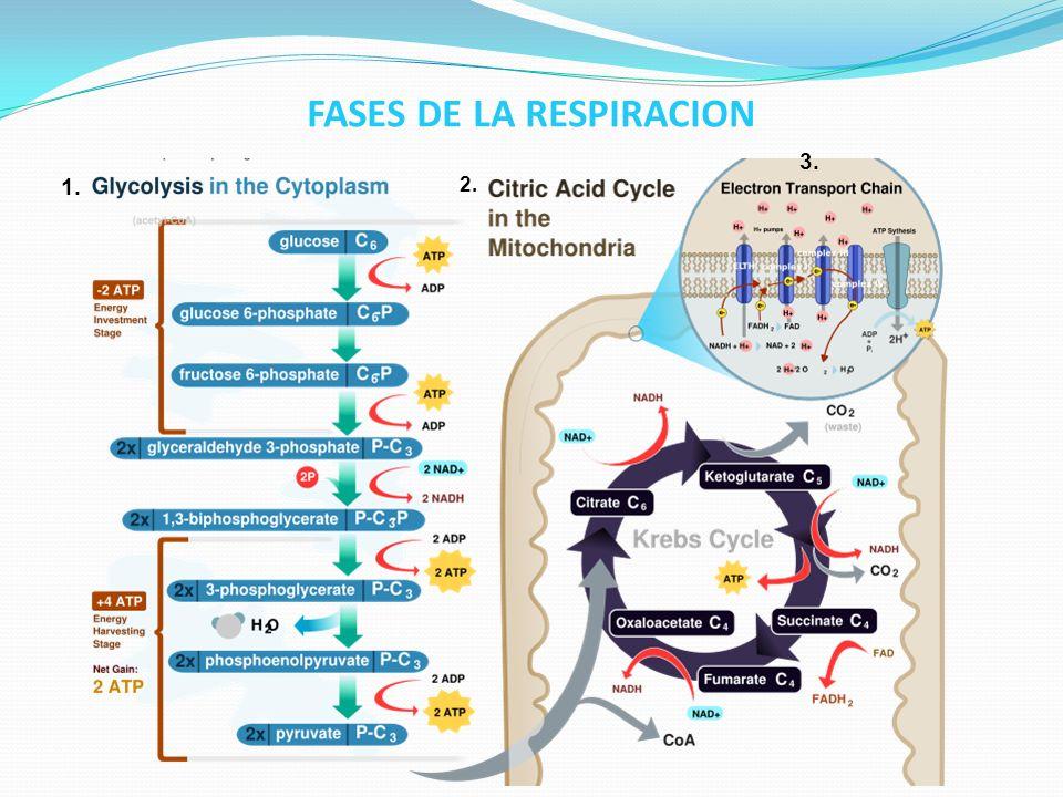 1.- GLUCÓLISIS: Glucosa Ácido Pirúvico.* No se utiliza oxigeno, ni se libera CO 2.